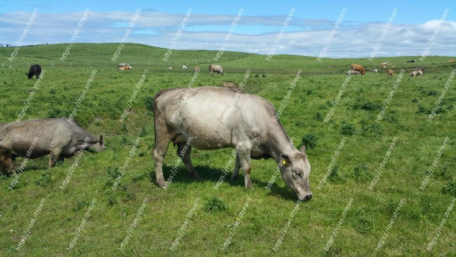 Image of Pasture, Grassland, Grazing, Bovine, Meadow, Working animal, Grass, Rural area, Livestock, Wildlife
