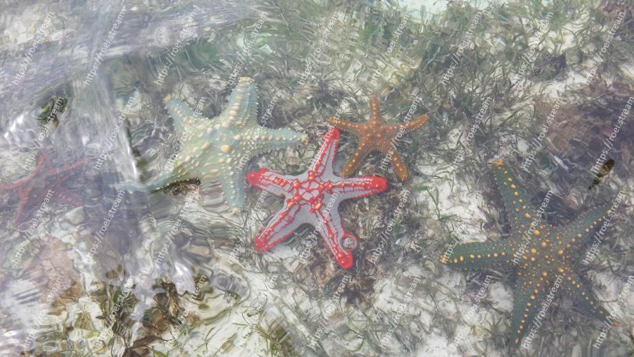 The three colored Starfish. Image of Starfish, Echinoderm, Marine invertebrates, Organism