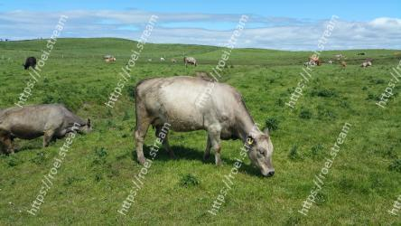 Pasture,Grassland,Grazing,Bovine,Meadow,Working animal,Grass,Rural area,Livestock,Wildlife