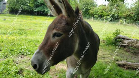 Mammal, Vertebrate, Burro, Terrestrial animal, Horse, Pack animal, Snout, Wildlife, Grass, Mane