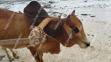 Horse, Pack animal, Snout, Sorrel, Mare, Mane, Bovine, Working animal, Liver, Fawn