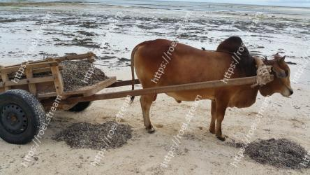 Bovine, Cart, oxcart, Vehicle, Mode of transport, Ox, Working animal, Water, Zebu, Livestock