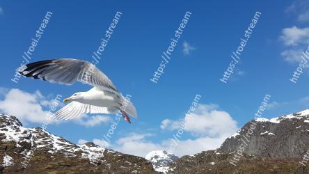 Bird, Sky, Wing, Mountainous landforms, Gull, Seabird, Beak, Mountain, Mountain range, Cloud