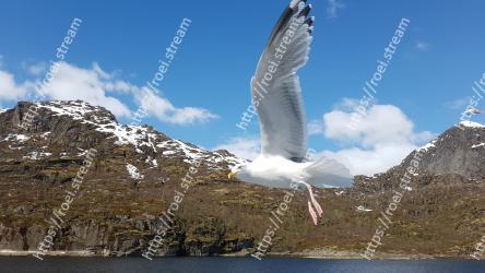 Bird, Gull, European herring gull, Western Gull, Seabird, Wing, Sky, Beak, Great black-backed gull, Charadriiformes
