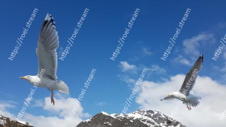 Bird, Vertebrate, Sky, Gull, European herring gull, Beak, Wing, Seabird, Great black-backed gull, Charadriiformes