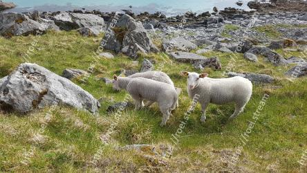Sheep, Sheep, Pasture, Herd, Grazing, Livestock, Grass, Cow-goat family, Goats, Wildlife