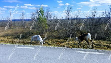 Reindeer,Wildlife,Road,Deer,Tree,Pasture,Infrastructure,Grass,Rural area,Landscape