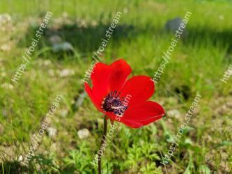 Flower,Flowering plant,Petal,Plant,Coquelicot,Poppy,Adonis,Poppy family,Pheasants-eye,Wildflower
