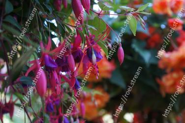 Flower,Plant,Flowering plant,Fuchsia,Pink,Botany,Leaf,Tree,Evening primrose family,Plant stem