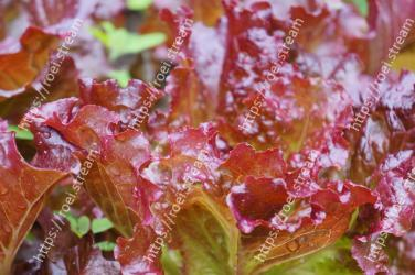 Leaf,Red leaf lettuce,Flower,Plant,Food,Leaf vegetable,Macro photography,Produce,Perennial plant
