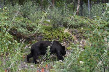 Bear, American black bear, Nature reserve, Wildlife, Biome, Plant community, Sloth bear, Terrestrial animal, Grizzly bear, Carnivore