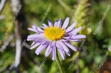 Flower, Flowering plant, aromatic aster, Plant, Petal, alpine aster, Aster, european michaelmas daisy, Daisy family, smooth aster