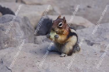 Vertebrate, Squirrel, Mammal, Chipmunk, Wildlife, ground squirrels, Organ Mountains Chipmunk, Eastern chipmunk, Rodent, Snout