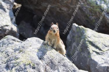 Mammal, Mountain goat, Wildlife, Rock, Fawn, Goats, Rodent, ground squirrels, Marmot