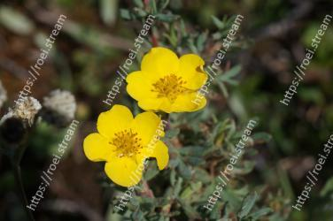 Flower,Flowering plant,Petal,Yellow,Plant,Common tormentil,Wildflower,Cinquefoil,buttercup,Rosa omeiensis