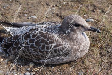 Vertebrate, Bird, Beak, Western Gull, Seabird, Charadriiformes, Gull, Wildlife, Adaptation, European herring gull