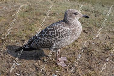 Bird, Vertebrate, Beak, Western Gull, Seabird, Charadriiformes, Great black-backed gull, Gull, European herring gull, Stock dove