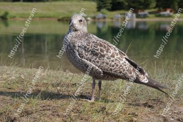 Bird, Vertebrate, Beak, Seabird, Wildlife, Charadriiformes, Shorebird, Terrestrial animal, Adaptation, Black bellied Plover