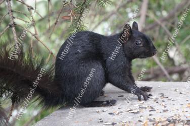 Vertebrate, Mammal, Squirrel, Fox squirrel, Terrestrial animal, Snout, ground squirrels, Tail, Organism, Grey squirrel