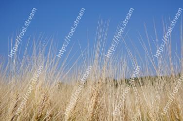 Grass, Plant, Grain, Grass family, Sky, Rye, Ecoregion, Field, Phragmites, Prairie