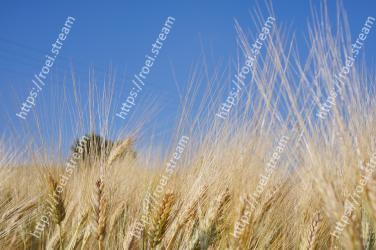 Barley, Rye, Grain, Khorasan wheat, Einkorn wheat, Triticale, Food grain, Crop, Hordeum, Plant