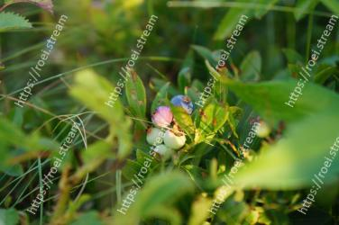 Plant,Flower,Bilberry,Leaf,Fruit,Grass,Tree,Blueberry,Berry,Flowering plant