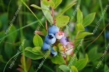 Bilberry,Plant,Flower,Blueberry,Berry,Fruit,Flowering plant,Arctostaphylos,Shrub