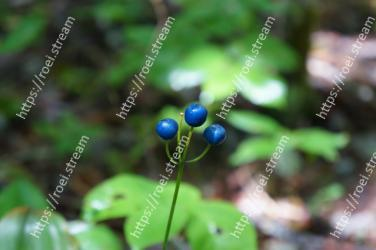 Blue,Plant,Green,Berry,Flower,Leaf,Fruit,Terrestrial plant,Botany,Huckleberry