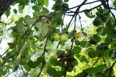 Plant,Tree,Flower,Fruit tree,Branch,Flowering plant,Woody plant,Fruit,Leaf,Food