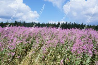 Flowering plant,Purple loosestrife,Plant,Flower,Prairie,Meadow,Grassland,Natural environment,Lavender,Wildflower
