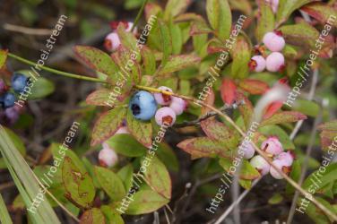 Flower, Flowering plant, Plant, Terrestrial plant, Bilberry, Wildflower, Arctostaphylos, Berry, Arctostaphylos uva-ursi
