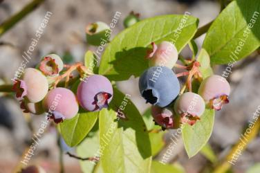Plant,Flower,Blueberry,Leaf,Fruit,Flowering plant,Bilberry,Tree,Woody plant,Arctostaphylos