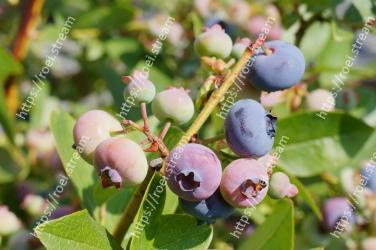 Plant,Fruit,Blueberry,Flower,Tree,Huckleberry,Bilberry,Woody plant,Berry,Food