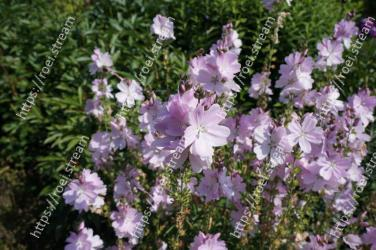Flower,Flowering plant,Lavender,Plant,Purple,Lilac,Subshrub,Petal,Botany,Bellflower family