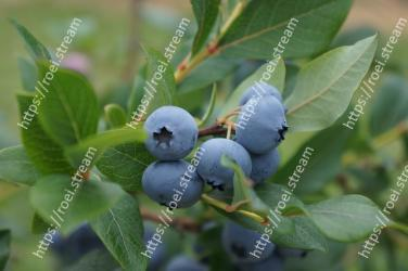 Blueberry,Plant,Berry,Huckleberry,Bilberry,Fruit,Blue,Flower,Prunus spinosa,Tree
