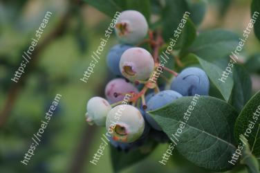 Blueberry,Plant,Bilberry,Flower,Berry,Fruit,Huckleberry,Leaf,Tree,Woody plant