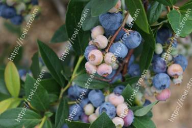 Plant,Blueberry,Fruit,Blue,Flower,Tree,Woody plant,Flowering plant,Leaf,Food