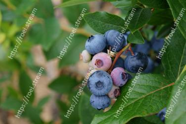 Blueberry,Fruit,Plant,Berry,Huckleberry,Flower,Bilberry,Leaf,Food,Flowering plant