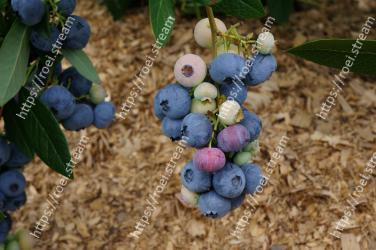 Blueberry,Davidsons Plum,Blue,Fruit,Berry,Plant,Bilberry,Flower,Prunus spinosa,Tree