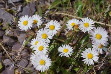Flower, Flowering plant, heath aster, aromatic aster, Daisy, Oxeye daisy, Marguerite daisy, Daisy, chamomile, Plant