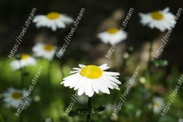 Flower,Flowering plant,Oxeye daisy,Daisy,Chamaemelum nobile,chamomile,Daisy,heath aster,Petal,mayweed