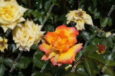 Flower,Flowering plant,Julia child rose,Petal,Floribunda,Rose,Rose family,Garden roses,Plant,Yellow