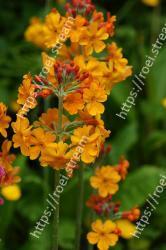 Flower, Flowering plant, Plant, Tropical milkweed, Lantana camara, Petal, Yellow, Milkweed, Herbaceous plant, Lantana