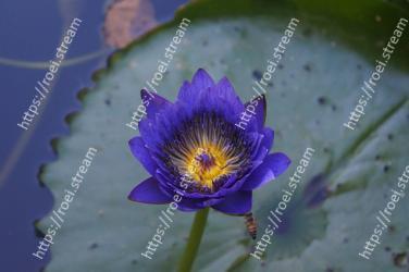Blue, Flower, Petal, Purple, Violet, Water, Plant, water lily, Aquatic plant, Flowering plant