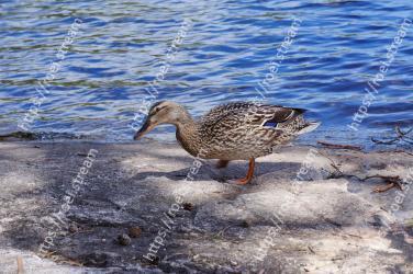 Duck, Bird, Water bird, Beak, Ducks,  geese and swans, Waterfowl, Mallard, American Black Duck, Water, Pond