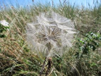 Plant, Flower, Grass family, Grass, Dandelion, Purple salsify, Flowering plant, dandelion, Heracleum (plant), Plant stem