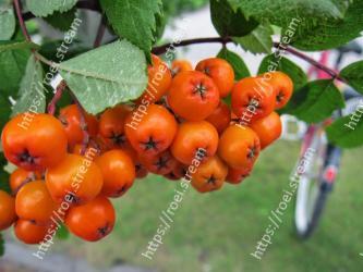 Plant, Fruit, Fruit tree, Flower, Flowering plant, Food, Rowan, Leaf, Tree, Sorbus